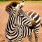 zebra_20141004_10.54.02